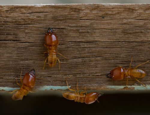 Diagnostic de termites